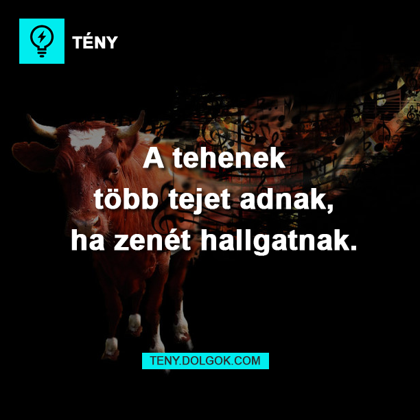 A tehenek több tejet adnak, ha zenét hallgatnak.